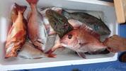 6月25日 午後マゴチ・真鯛船 釣果